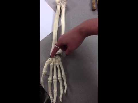 Carpals, metacarpals, phalanges of the hand