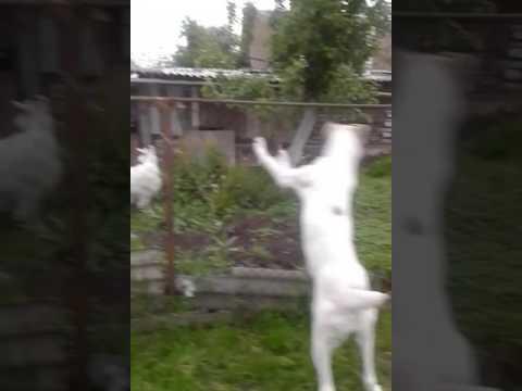 Алабайчики и коза)))
