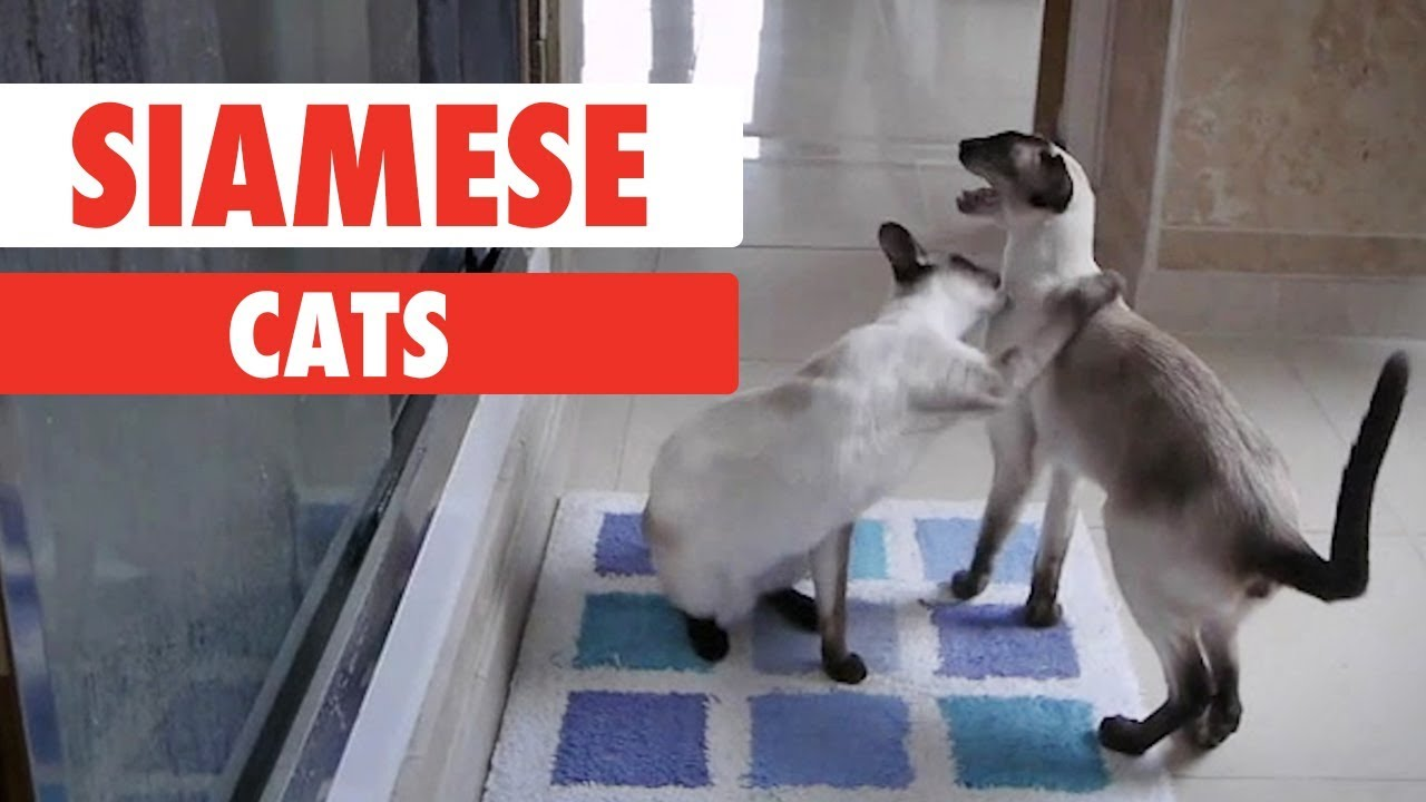 Breed All About It: Siamese Cats
