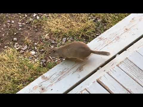 Yellowstone National Park - Wildlife - Uinta Ground Squirrel (2018)