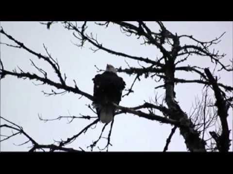 Bald Eagles Making Comeback In Vt.