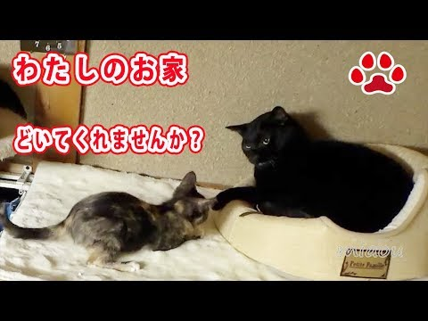 Cute kitten Lana, tries to get her house back.(turn on  English subtitle)