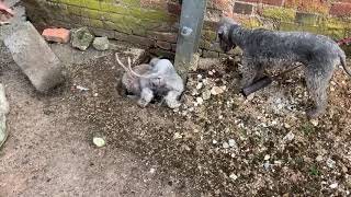 Ratting with bedlington terriers in Hertfordshire