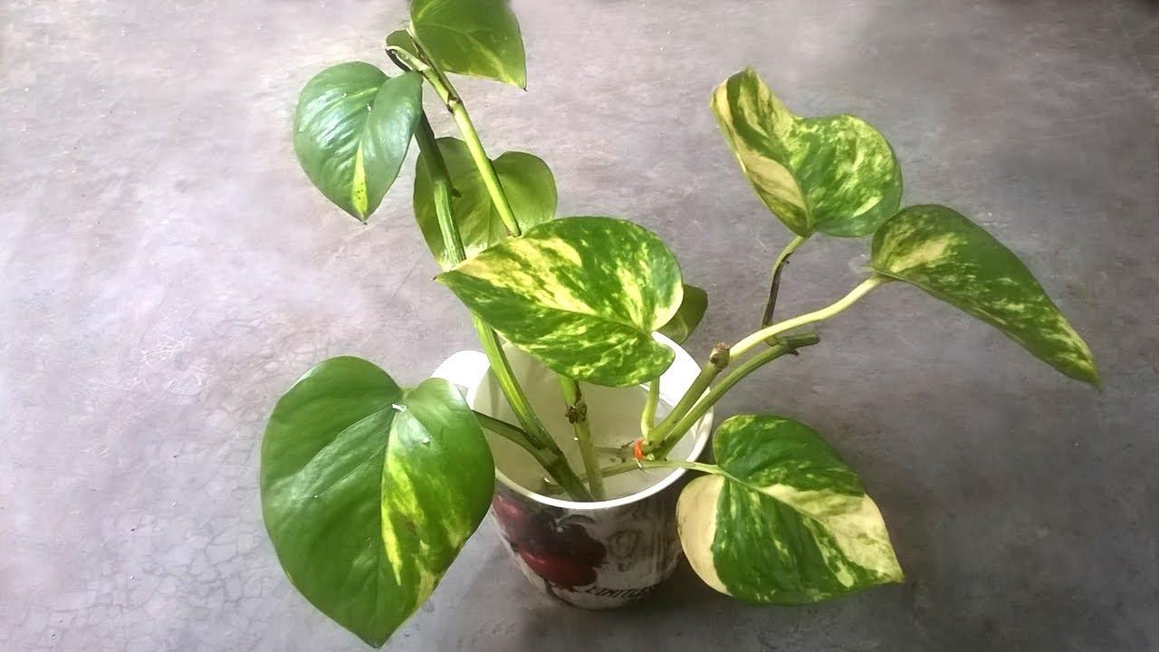 Grow Money Plant In Water Indoor Plants