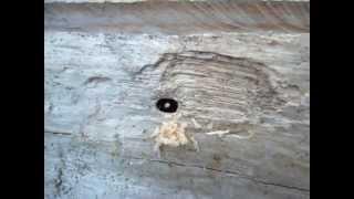Építkező hangyák