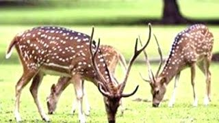 RUSA DEER - Kijang Rusa Totol - Wild Life Animal Planet [HD]