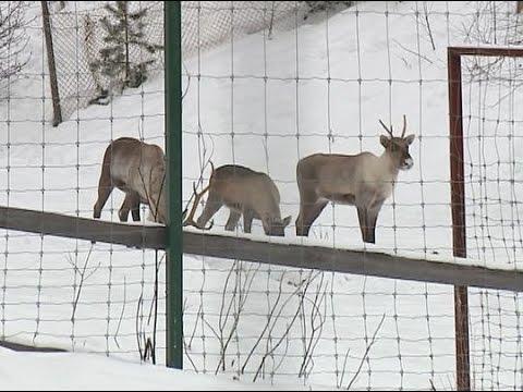 Популяцию северных оленей восстанавливают в Керженском заповеднике
