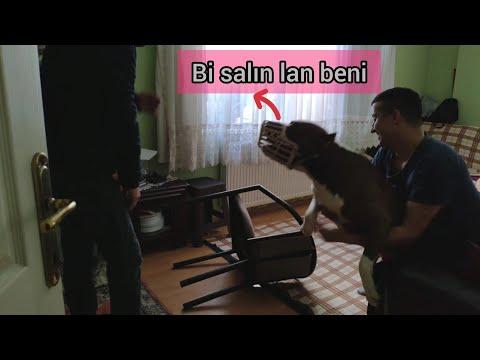 EVE GİREN HIRSIZA PİTBULL'UN TEPKİSİ !