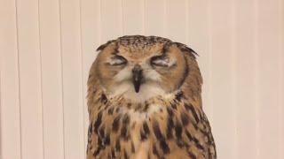 フクロウも寒い時はくしゃみします The owl will sneeze on cold days.