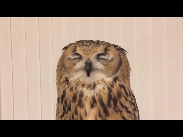 くしゃみするフクロウ / Owl's sneeze