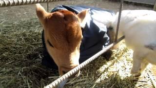 コーギーカーディガンのサマンサちゃん。 仔牛の『こすけ』くんに遭遇!...