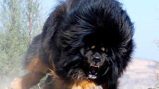 اخطر واشرس 10 كلاب في العالم