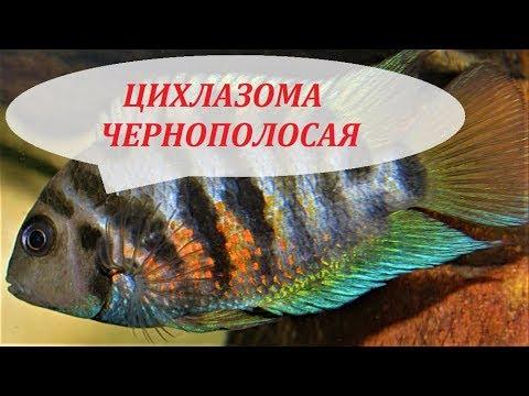 Цихлазома Чернополосая в аквариуме. Содержание, разведение, совместимость.