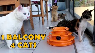 Friendship of Persian cat, Calico cat, Angora cat and Tabby cat.
