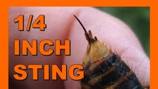 Basic Insect Anatomy - Asian Giant Hornet Suzumebachi - Real Japan Monsters 基本的な昆虫の解剖学 日本のモンスター