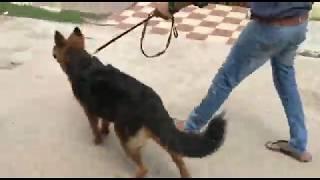 6 month Long coat German Shepherd male  puppy sell
