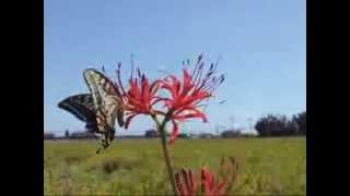 キアゲハがヒガンバナの花にやってきたところです。 (平成25年9月18日...