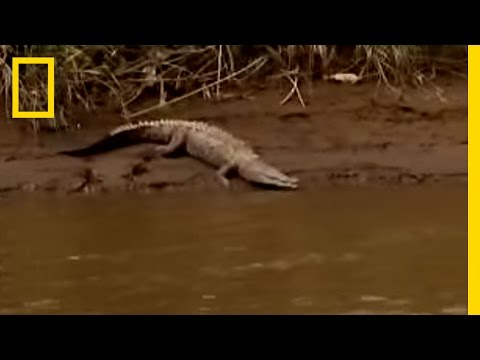 Blind-Croc Mystery | National Geographic