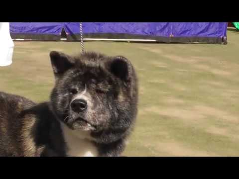 Акита разновидности окрасов, видео с выставки собак