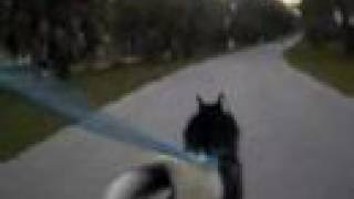 Urban Bike Mushing Iditarod Marley Siberian Husky In Florida (watch In Hq)