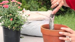 How to Plant Mums in a Container : Planting & Caring for Mums
