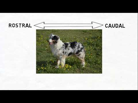 2-Minute Neuroscience: Directional Terms in Neuroscience
