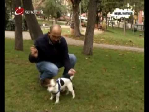 Jack russell terrier ev k pekleri e itimi youtube - Jack russel queue coupee ...