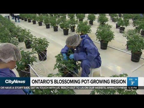 A Look Inside Ontario's Largest Legal Marijuana Grow-op