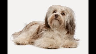 Гаванский бишон, гаванская собака