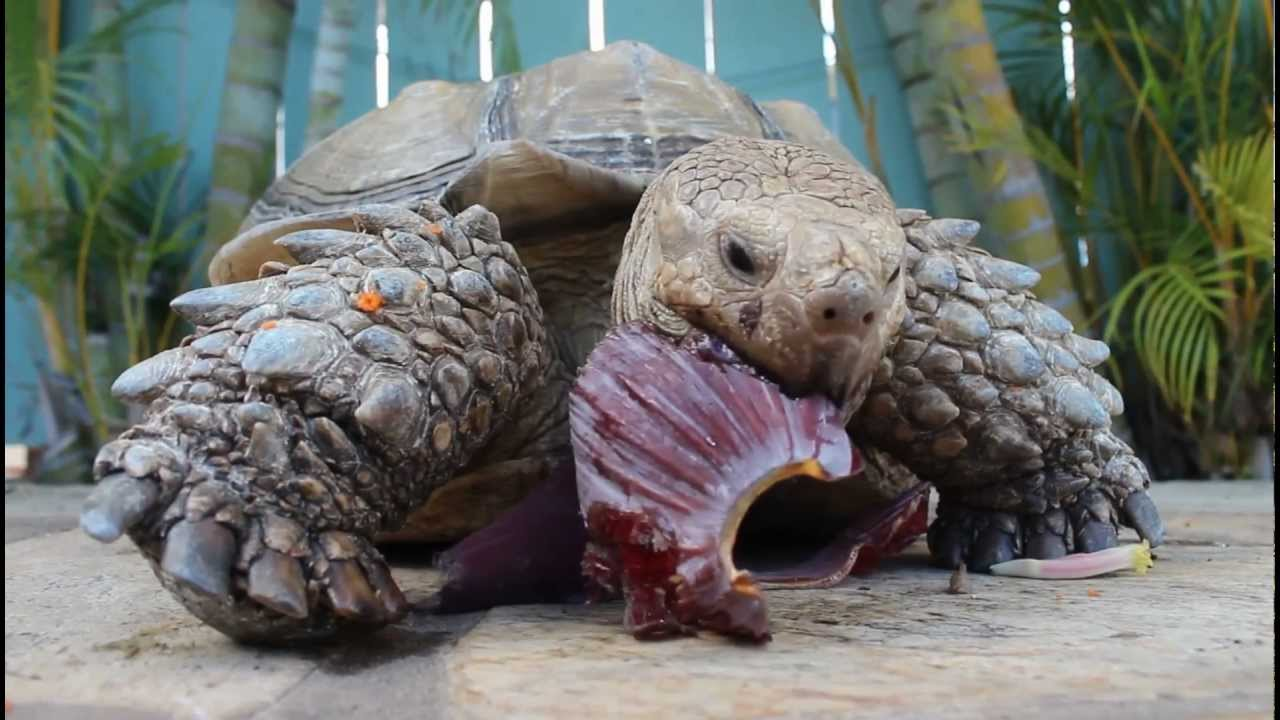Sulcata Tortoise Pet Eating Banana Seed Pod Hd Youtube