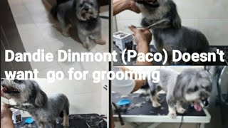 #Dandie Dinmont# Paco doesn't want to go for GROOMING #