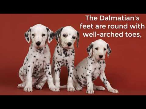 the Dalmatian is a high-energy dog