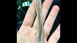 Uroplatus lineatus - Gecko à queue plate- LE COUPLE vidéo