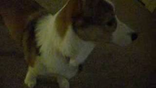 Welsh Corgi Barking