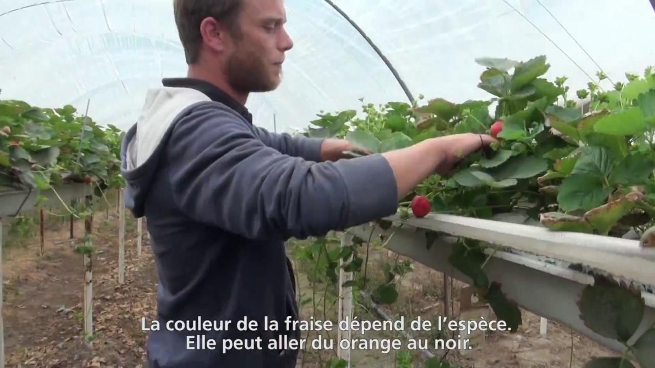Rencontre avec Vincent, producteur de fraises pour Philippe Dorsaz (VS)