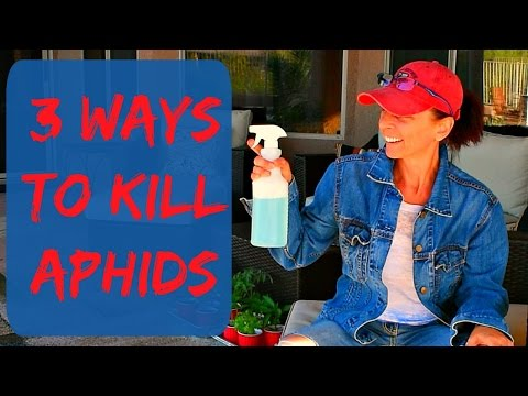 Aphids Control Spray & Aphids Control Methods - The Aphids On My Plants In My Vegetable Garden