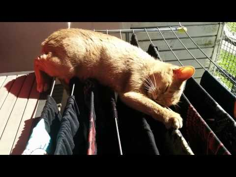 Abyssinian cat Martta drying the laundry