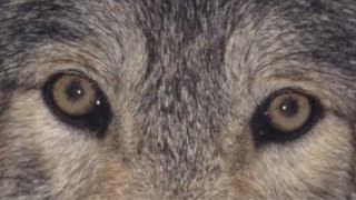 Хуже охотников только убийцы детей! #медвежийугол #тайга #волк