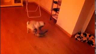 Pug Puppy Dominating A Cushion Having Sex With It