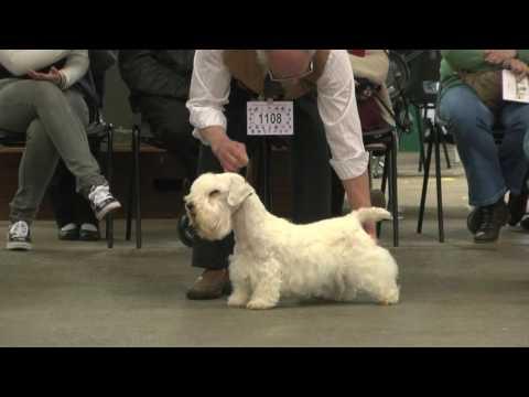 Sealyham Terrier - Best of Breed