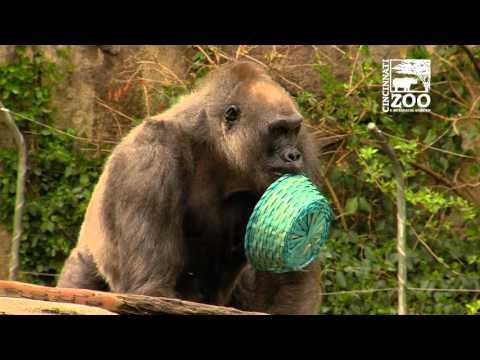 Gorilla Egg Hunt 2016 - Cincinnati Zoo