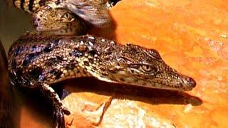 Djerba - Krokodilfarm - Fütterung der Krokodile - Djerba Explore Parc