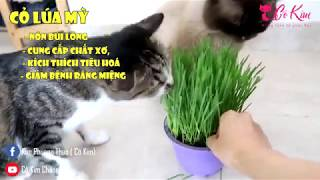 Trồng cỏ lúa mỳ cho mèo - hỗ trợ tiêu hóa. How to Grow Cat Grass from Wheat and Oat Feed