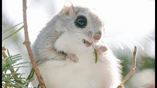 Japanese Dwarf Flying Squirrel Compilation