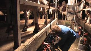 Marechal Film - Traite des Vaches et Biberon des Veaux