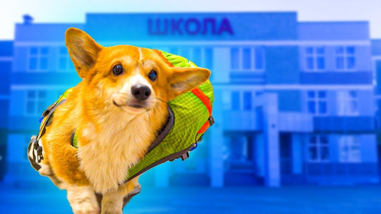 КОРГИ ИДЕТ В ШКОЛУ!! (Корги Коржик) Говорящая собака