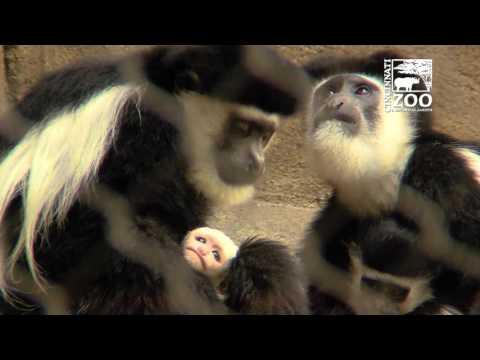 New Colobus Monkey Baby - Cincinnati Zoo