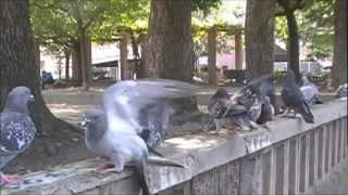 多数の鳩の大喧嘩を間近で撮影することが出来ました。(8月17日撮影) 時...