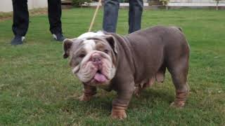 Expensive Dogs Breeds In India | Royal Exotics Bulldogs, French Bulldog, English Bulldogs | Scoobers