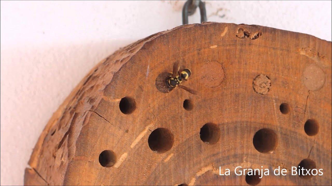 """Download """"HOTEL"""" DE INSECTOS 2: Avispa solitaria (Ancistrocerus sp.) construyendo nido."""